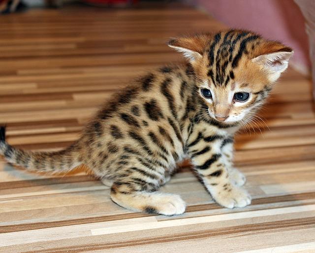 Il Gatto Del Bengala Caratteristiche E Curiosità