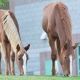 cavallo mustang