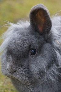 coniglio nano grigio