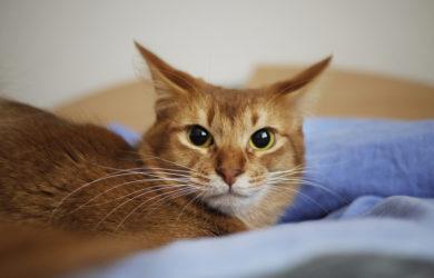 gatto somalo