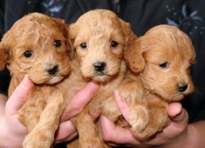 puppies-688425_960_720