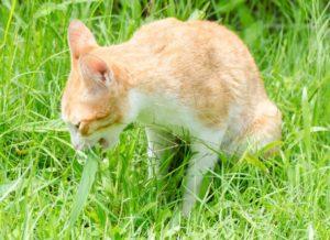 Perché I Gatti Mangiano Lerba